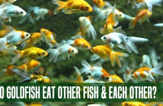 Do Goldfish Eat Other Fish and Each Other?: 5 Best Goldfish Tank Mates