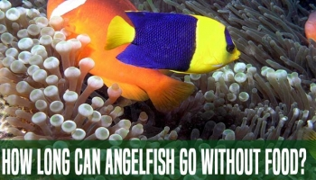 How Long Can Angelfish Go Without Food? : Plan Your Tips
