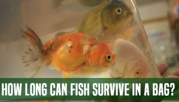How Long Can Fish Survive In A Bag