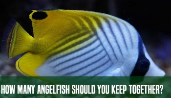 How Many Angelfish Should You Keep Together?