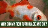 Why Did My Fish Turn Black And Die